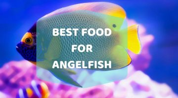 A Complete Review and Buying Guide of The Best Food for Angelfish